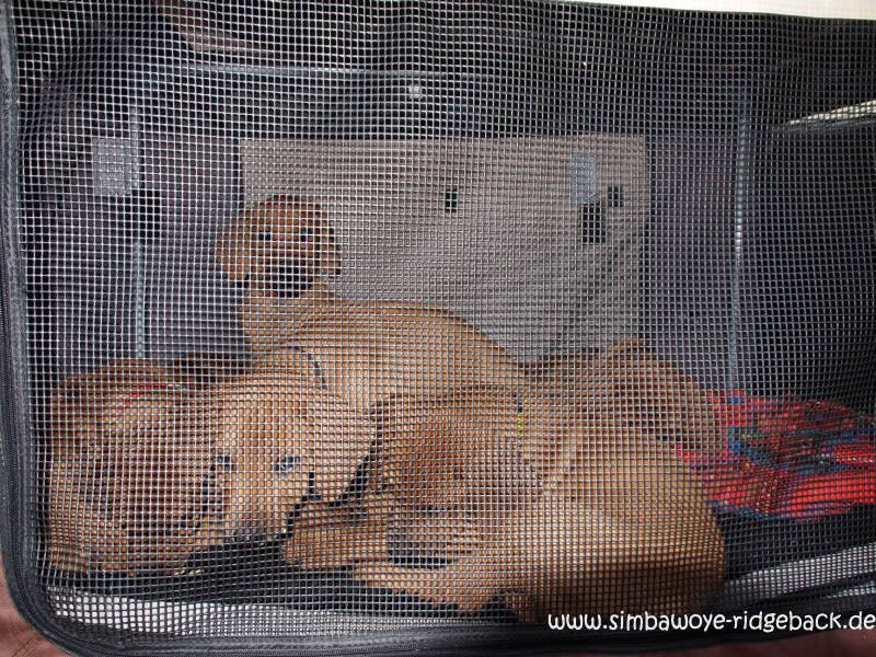 anschnallpflicht transport von hunden im auto. Black Bedroom Furniture Sets. Home Design Ideas